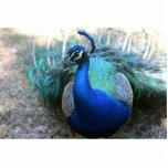 Varón del pavo real en la cabeza de tierra dada vu esculturas fotograficas