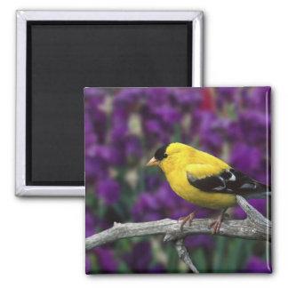 Varón, Goldfinch americano en plumaje del verano, Imán Cuadrado