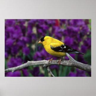 Varón, Goldfinch americano en plumaje del verano, Posters