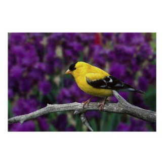 Varón, Goldfinch americano en plumaje del verano, Póster