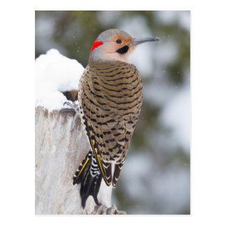 Varón septentrional del parpadeo en invierno tarjetas postales