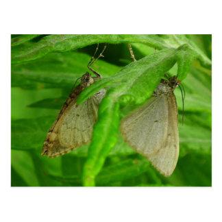 Varón y hembra de la mariposa postal