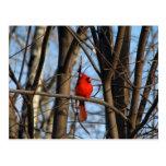 Varón y postal cardinal femenina