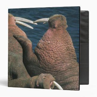 Varones 2 del rosmarus del Odobenus de la morsa pa