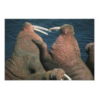 Varones del rosmarus del Odobenus de la morsa pací Fotografías