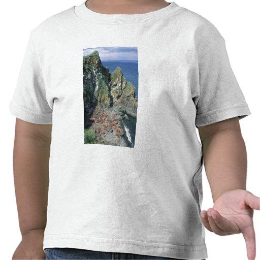 Varones del rosmarus del Odobenus de la morsa Camisetas