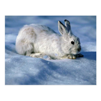 Varying Hare/Snowshoe Rabbit on open snow Postcard