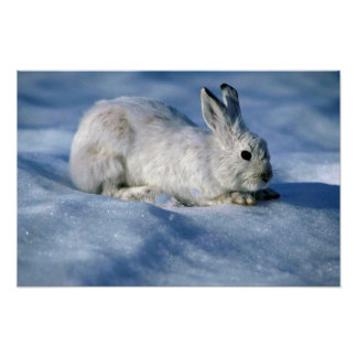 Varying Hare/Snowshoe Rabbit on open snow Poster