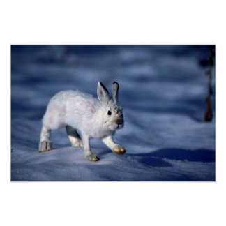 Varying Hare/Snowshoe Rabbit on open snow Posters