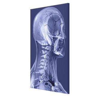 Vasos sanguíneos de la cabeza y del cuello lona estirada galerias