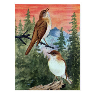 Veeries in a Coniferous Forest Postcard