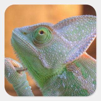 Veiled Chameleon Square Sticker