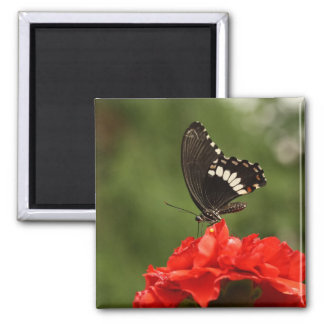Veined Swallowtail 2 Inch Square Magnet