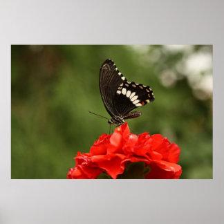 Veined Swallowtail Print