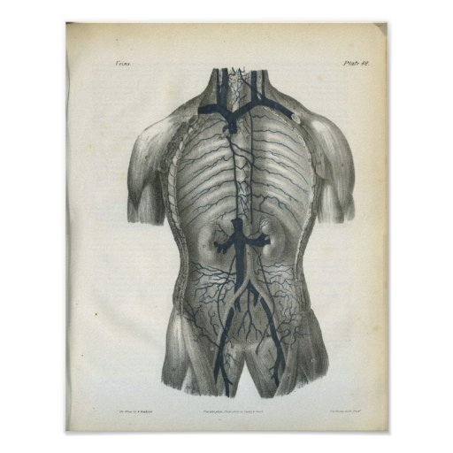Veins of Abdomen Anatomy Print