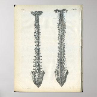 Veins of Spine Anatomy Print