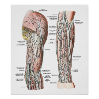 Veins of the Arm Poster