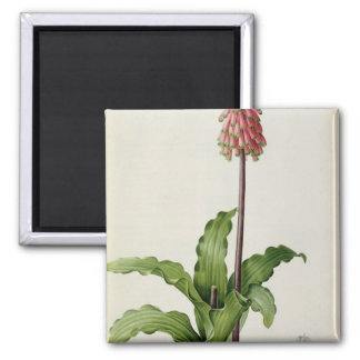 Veltheimia Capensis, from `Les Liliacees', c.1805 2 Inch Square Magnet