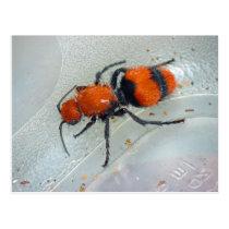 Velvet Ant. Postcard