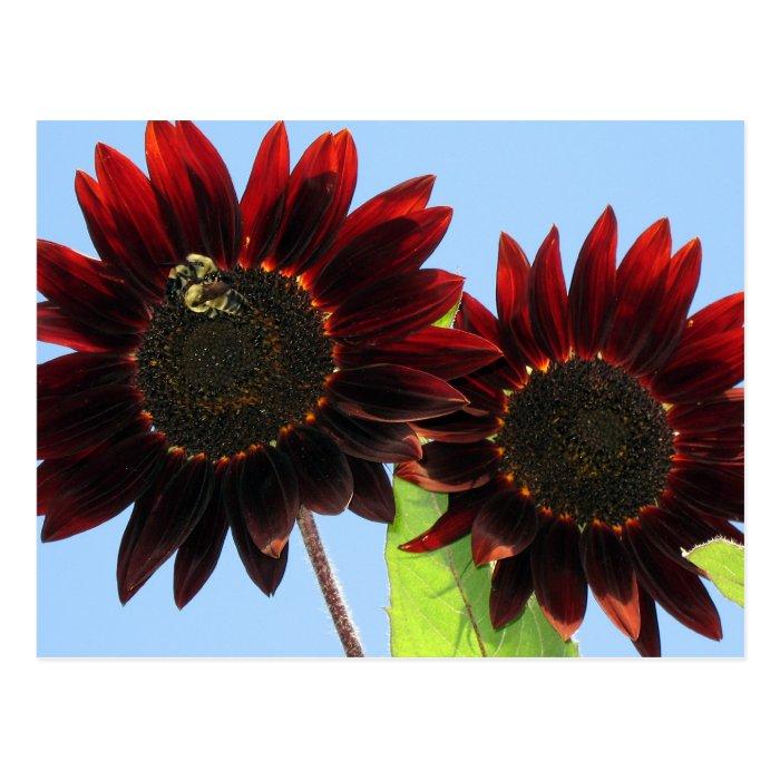 Velvet Queen Sunflowers Postcard