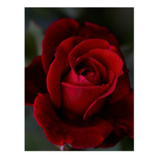 Velvet Red Rose of Romance Postcard