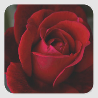 Velvet Red Rose of Romance Square Sticker