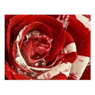 Velvet Ripple Rose Postcard