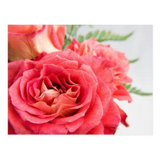 Velvety Pink Roses Postcard