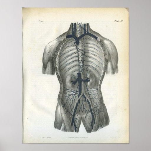 Venas de la impresión de la anatomía del abdomen poster