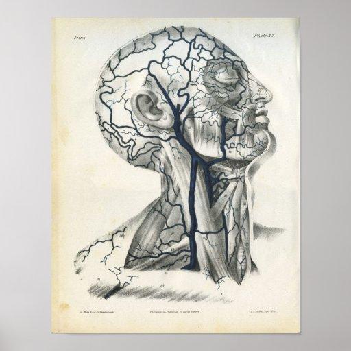 Venas de la impresión principal de la anatomía del