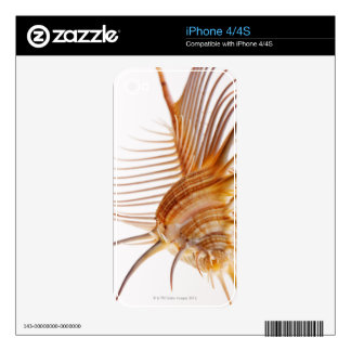 Venus Comb Murex shell (Murex pectin) against iPhone 4 Decal