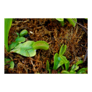 Venus Fly Trap Posters