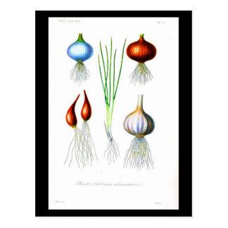 Verduras 2 de la Postal-Botanicals-Raíz
