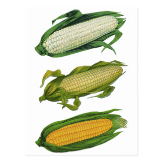 Verduras sanas de la comida del vintage, maíz postales