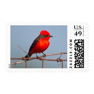 Vermilion Flycatcher (Pyrocephalus Rubinus) Postage