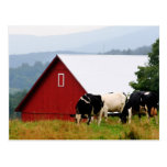 Vermont Cow Farm Postcard