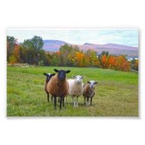 Vermont Sheep in Autumn Photo Print