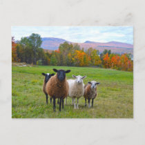 Vermont Sheep in Autumn Postcard