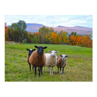 Vermont Sheep in Autumn Postcard