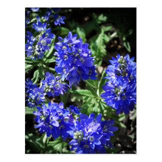 Veronica Flower Postcard