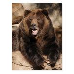Verraco del oso grizzly tarjeta postal