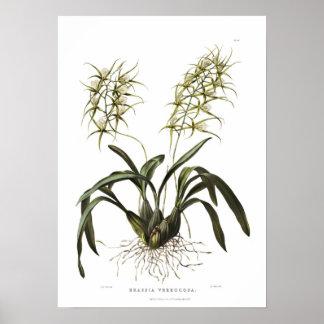 Verrucosa del Brassia de Srta. Drake Poster