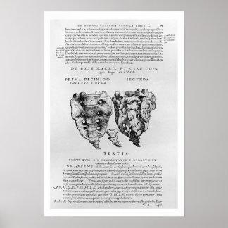 Vertebrae, Cocyx (b/w print) Poster