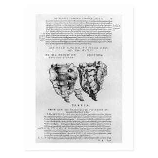 Vértebras, Cocyx (impresión de b/w) Postal