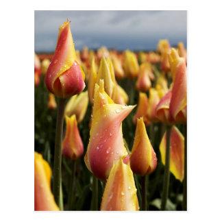 Vertical de madera de la granja del tulipán del za postales