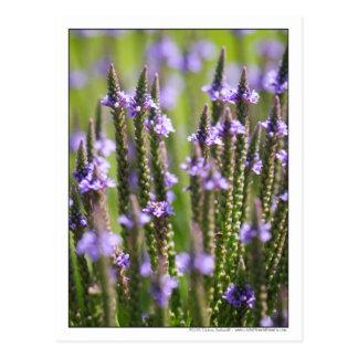 Vervain azul en prado de los wildflowers de postal