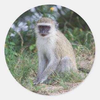 Vervet Monkey, Botswana, Africa, Sticker