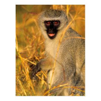 Vervet Monkey (Chlorocebus Pygerythrus) Postcard