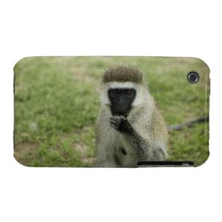Vervet monkey eating, Africa iPhone 3 Covers