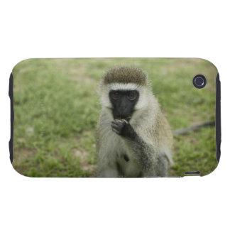 Vervet monkey eating, Africa Tough iPhone 3 Cases